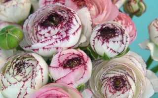 Лютики садовые (ранункулюсы): посадка семенами и клубнями, уход, нюансы выращивания в Средней полосе