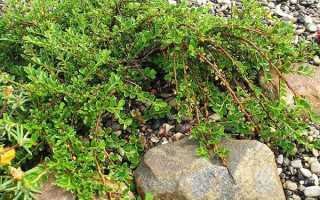 Кизил: фото, посадка осенью, уход и обрезка, способы выращивания, размножения, сорта