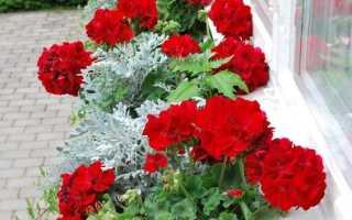 Розебудная пеларгония (герань): уход в домашних условиях, каталог сортов с фото, описание растения