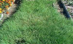 Полевица побегоносная как газонная трава: отзвы, фото газона
