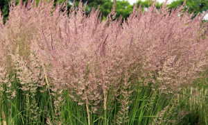 Вейник наземный, остроцветковый Карл Форестер, Овердам: описание растения, фото, посадка, уход