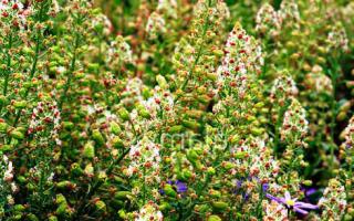 Резеда душистая, виды и сорта, выращивание из семян, посадка, уход