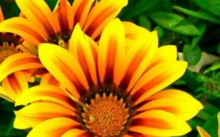 Цветы газания: посадка и уход в домашних условиях, фото, когда сажать на рассаду