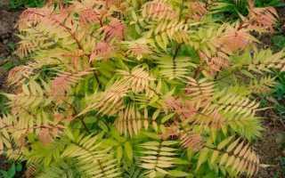 Как выращивать рябинник рябинолистный: посадка и уход, размножение