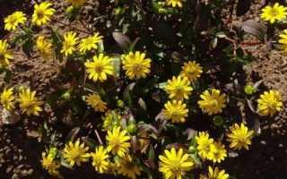 Санвиталия: фото цветка, выращивание из семян, посадка и уход в домашних условиях
