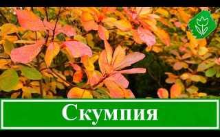 Скумпия кожевенная: описание, фото, посадка и уход в Подмосковье