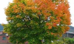 Клен остролистный, канадский, обыкновенный и другие на фото, строение листа, виды и сорта