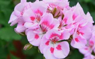 Пеларгония королевская: фото с названиями, уход в домашних условиях за геранью грандифлора, обрезка, размножение