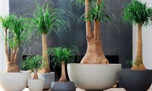 Комнатный цветок нолина (бокарнеа): уход в домашних условиях, как выглядит бутылочное дерево на фото