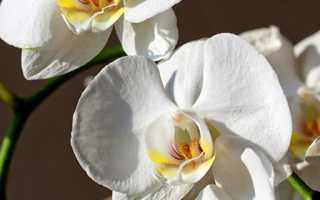 Можно ли пересаживать орхидею во время цветения – инструкция