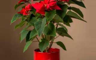 Пуансеттия прекраснейшая (цветок Рождественская звезда): уход в домашних условиях, фото