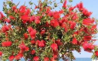 Каллистемон: фото, посадка и уход в открытом грунте, сорта краснотычиночник лимонный, сплетенный, ивовый, прекрасный
