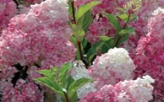 Гортензия метельчатая в Сибири посадка и уход, лучшие сорта, уход весной, обрезка