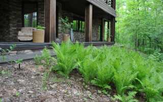 Папоротник орляк: лесной папоротник на фото, в саду и ландшафтном дизайне
