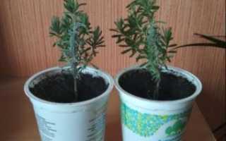 Лаванда: посадка, уход и размножение черенками и семенами