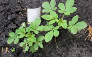 Клеома: фото растений, посадка и уход, выращивание из семян, когда сажать