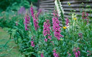 Наперстянка многолетняя (Digitalis): выращивание из семян, посадка и уход, фото