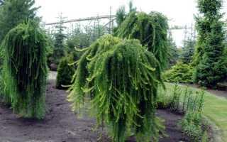 Лиственница: посадка, уход и размножение дерева на штамбе