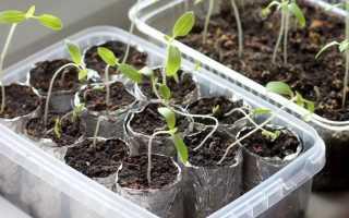 Черная ножка у рассады томатов: что делать, как бороться, чем полить, как избавиться