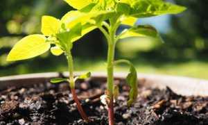 Подсолнечник декоративный: выращивание из семян, современные сорта, фото