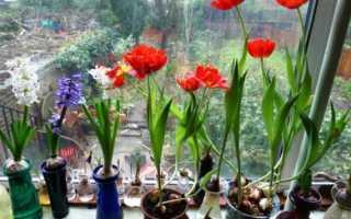 Тюльпаны к 8 марта в домашних условия, как выгнать тюльпаны дома, выбор сорта, правильная посадка