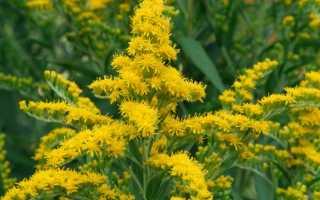 Cолидаго (золотарник): описание растения, фото, применение, посадка, уход