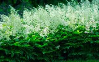 Волжанка (арункус): посадка и уход на фото, выращивание из семян