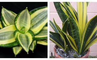 Сансевьера (сансевиерия, щучий хвост, тещин язык): фото цветка, уход в домашних условиях, размножение