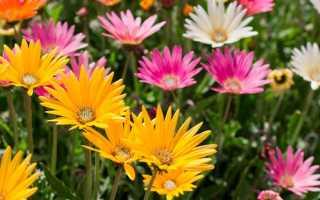Арктотис: фото цветов, виды, сорта, выращивание из семян, посадка, уход
