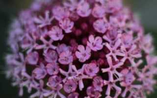 Цветок клеродендрум: уход в домашних условиях, фото – Уоллича, Шмидта, филиппинский, инерме, бунге