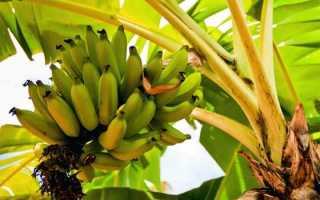 Как вырастить банан в домашних условиях из семян: можно ли, уход за банановым деревом