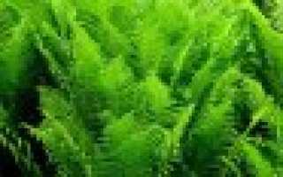 Папоротник страусник: фото растения, виды, нюансы посадки, ухода и сочетания с другими растениями