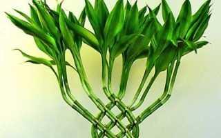 Драцена Сандера (бамбук счастья): фото, уход в домашних условиях, обрезка верхушки, формирование спирали, как размножить