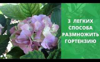 Гортензия древовидная и метельчатая: размножение черенками весной, осенью, летом