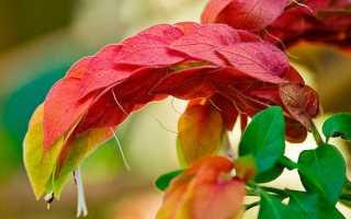 Цветок белопероне: уход в домашних условиях, фото, размножение
