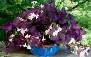 Кислица фиолетовая: что представляет собой, как ухаживать в домашних условиях, нюансы ухода и размножения