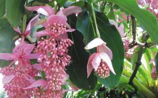 Цветок мединилла: уход в домашних условиях, фото – великолепная (магнифика), сбросила все листья – что делать