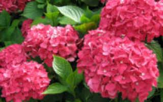 Гортензии садовые: посадка и уход, рамзножение и болезни растения