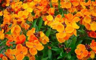 Лакфиоль: фото, выращивание из семян, посадка и уход