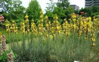 Асфоделина: травянистое растение для открытого грунта – фото, желтая, крымская, лечебные свойства