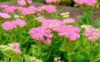 Очиток: сорта и виды с фото с названием (обыкновенный, почвопокровный), посадка и уход