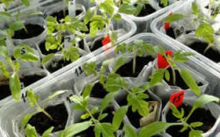 Пикировка томатов: как пикировать рассаду помидор – видео, обязательно ли это делать, чем подкормить после
