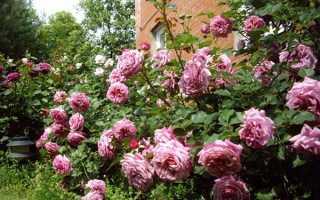 Розы-шрабы: что это такое, фото, описание, посадка, уход, сорта