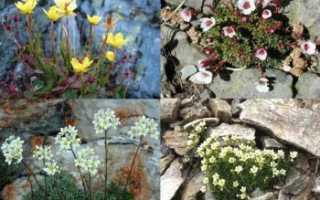 Камнеломка в домашних условиях и в открытом грунте: фото, посадка, уход, выращивание из семян