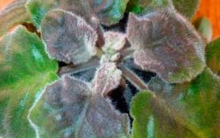 Серая гниль: поражаемые растения, наносимый вред, методы борьбы, фото грибка Botrytis cinerea