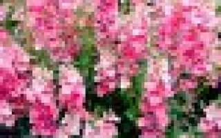 Диасция: посадка и уход, фото, выращивание из семян в домашних условиях