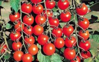 Томаты черри: лучшие сорта для теплиц, самые сладкие и вкусные – особенности выращивания