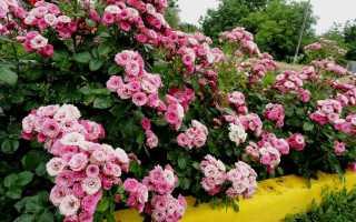 Спрей розы: что это такое, лучшие сорта с фото и описаниями