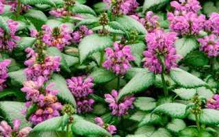 Яснотка белая, пурпурная, пятнистая крапчатая, зеленчуковая, стеблеобъемлющая, желтая с фото, посадка и уход