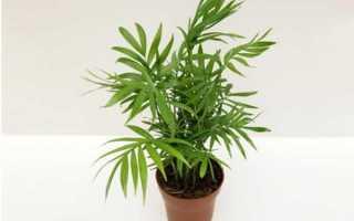 Пальма хамедорея: уход в домашних условиях, фото, цветение, размножение, сохнут листья – что делать